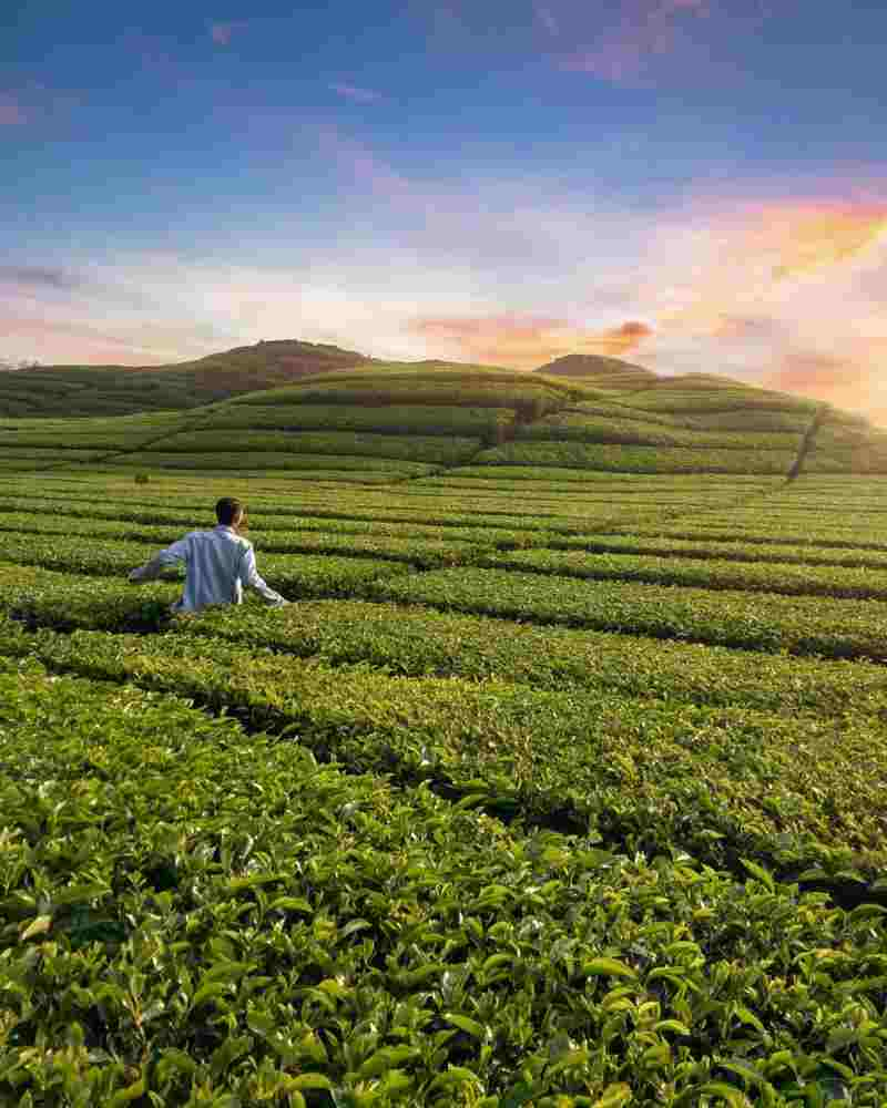 10-Pilihan-Wisata-Bandung-Selatan-Lokasi-Nyaman-untuk-Nikmati-Kota-Kembang-7 teh rancabali