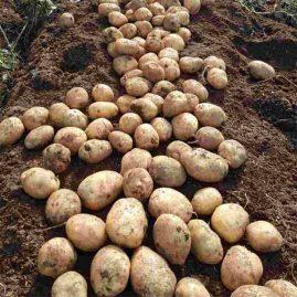 jual-benih-kentang-pangalengan-murah-dan-unggul