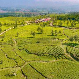 Pangalengan terletak sekitar 40 kilometer arah selatan Kota Bandung atau sekitar 29 Km dari Soreang. Pangalengan merupakan daerah pertanian, penghasil susu sapi dan perkebunan teh. BERWISATA di alam terbuka lebih disukai orang pada masa pandemi COVID-19. Menikmati pemandangan kebun teh salah satu alternatif yang bisa dilakukan untuk mengusir suntuk dan penat. Perkebunan teh dengan panorama indah ada di Kecamatan Pangalengan, Kabupaten Bandung, Jawa Barat. Wisata alam ini menyajikan lanskap perkebunan hijau dan berbagai spot foto instagramable. Selama di perjalanan Anda disuguhi danau dan juga kebun-kebun teh. Cocok bagi anda yang ingin memanjakan mata akibat sumpeknya hiruk pikuk di kota. Cukup dengan uang Rp5000 Anda sudah bisa memasuki kawasan ini dan berfoto-foto ria. Meskipun jauh dari pusat kota dan jalan yang cukup berkelok-kelok, namun hal tersebut akan terbayarkan dengan pemandangan yang disuguhkan. Hamparan hijau kebun teh dipadu dengan langit biru juga udara yang sejuk membuat destinasi ini sangat sempurna memanjakan mata para pengunjung. Waktu yang tepat untuk mengunjungi tempat ini ialah sebelum matahari terbit, agar anda dapat menikmati sunries di Pangalengan. Tapi sore hari juga bisa untuk menikmati senja dan langit merah jingga di kebun teh. Dengan panorama kebun teh dan danau ini, para pengunjung akan merasakan sensasi syuting film Heart Series. Saat pulang jangan lupa membeli oleh-oleh susu steril khas Pangalengan.
